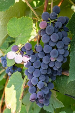 Cluster of blue grape is growing on the vine