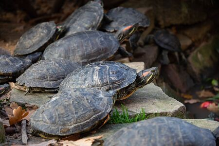several red-eared turtles are resting on stones Imagens