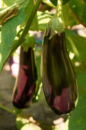 Long violet eggplants growing Stock Photo