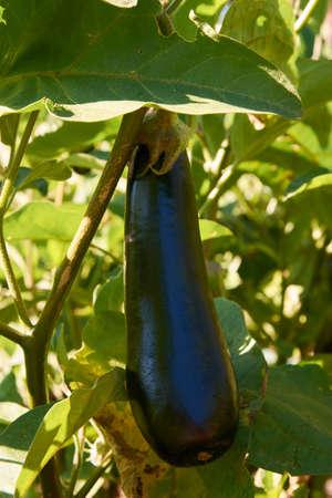 Ripe dark violet eggplant growing