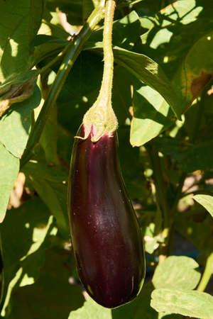 Long violet eggplant growing Stock Photo