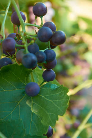 Different stages of ripening of wine grape. Clusters on the vine