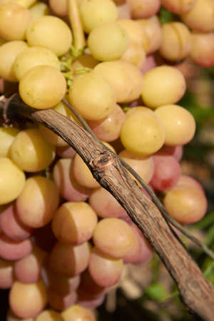 Grape cluster on vine lit with sunlight Stock Photo