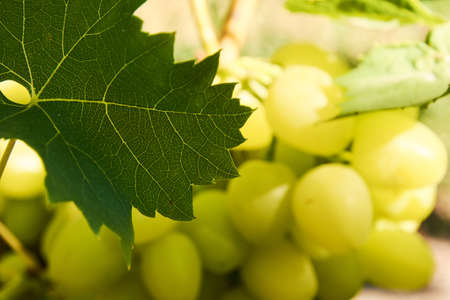 Grape leaf in front of cluster lit with sunlight