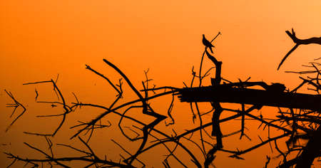 Silhouette of a dove sitting on dry branches sticking out of the water. The water is colored in color of orange sunset. Stock Photo