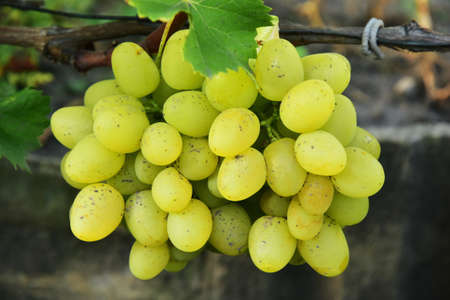 Clusters of ripe round shape green grape on the vine