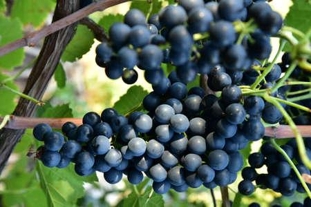 Clusters of ripe round shape deep blue wine sort of grape on the vine