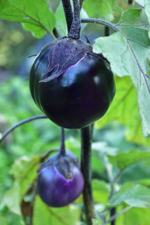 Ripe violet eggplants of unusual round shape on the bush