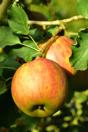 Red and green apples growing on the tree