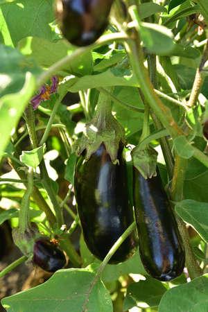 Long ripe violet eggplants growing on the bush Stock Photo