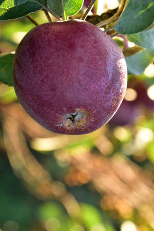 One red Autumn apple growing on the tree