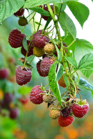 Many ripe res raspberries on the bush growing