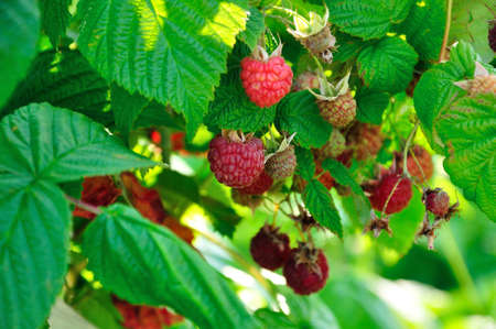 a lot of red raspberries on a bush