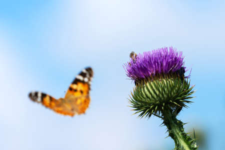 Painted lady butterfly flying into blue sky from flower of spiky  thistle