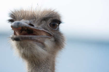 Ostrich head with beak open close up Stock Photo