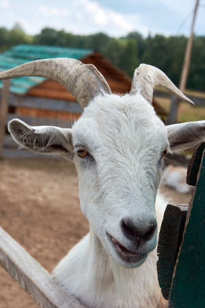 Close-up portrait of white adult goat behind a fence Stock Photo