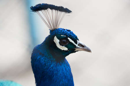 Blue color head of peacock in a zoo