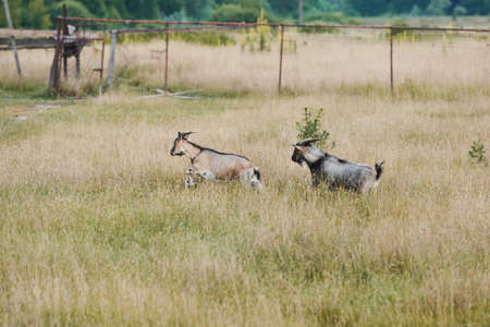 Two brown and gray adult goats are running through a meadow