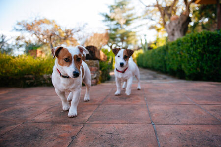 russell: Jack Russell Terrier Stock Photo