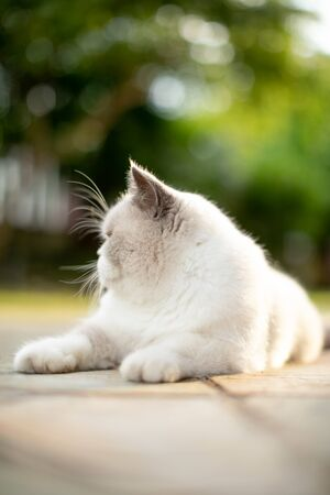 fluffy white cat looking to the side