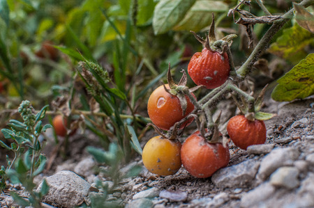 home grown: A shot of home grown cherry tomatoes