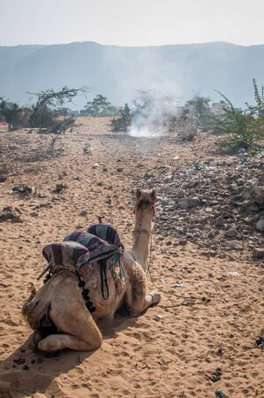 scorching: Camel resting at a desert.