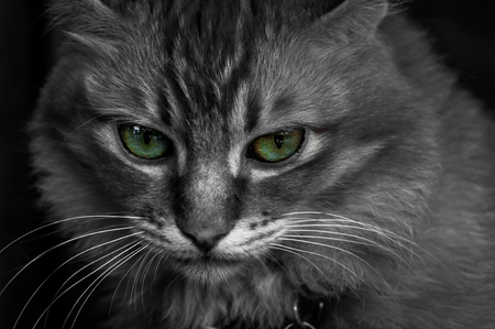 close up eyes: A close up selective color shot of a domestic cat with green eyes. Stock Photo