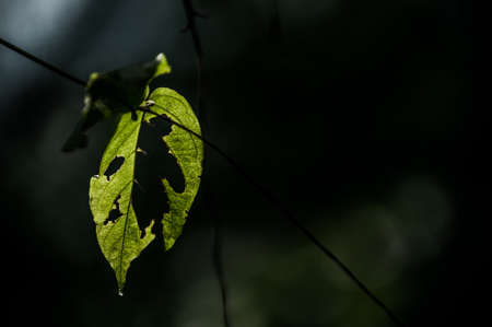 back light: A shot of a leaf with the texture of the leaf was highlighted by a back light.