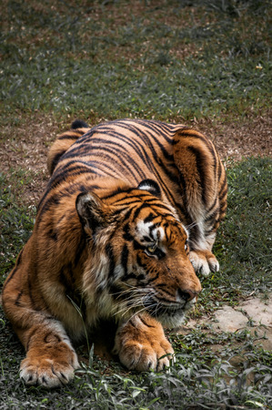 siberian tiger: A shot of a siberian tiger ready to pounce on its prey. Stock Photo