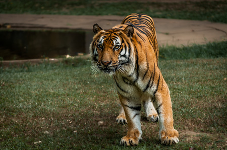 siberian tiger: A shot of a siberian tiger ready to strike.