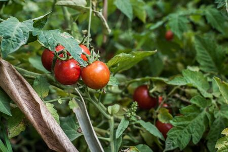 grown: A shot of home grown cherry tomatoes taken. Stock Photo