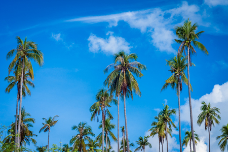 retreats: A shot of coconut trees taken at one of the tropical islands in Sabah Malaysia.