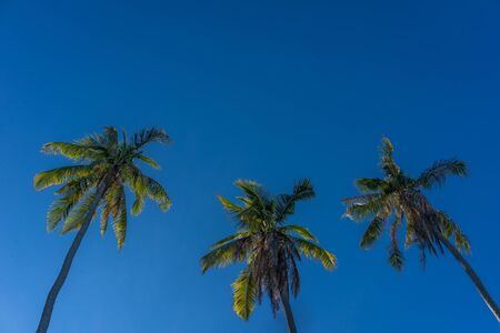 low  angle: A low angle shot of coconut trees over a clear blue sky. Stock Photo
