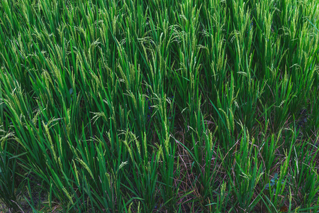 ubud: Shot of green paddy field taken at Ubud, Bali Indonesia.