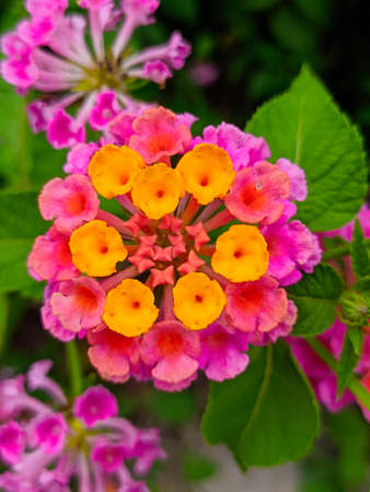 Common lantana flowers with blurry background