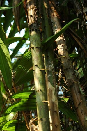 Rattan Tree In Indonesian Forest