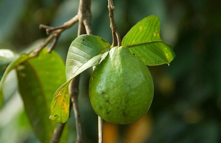 Guava on the Tree Stock Photo
