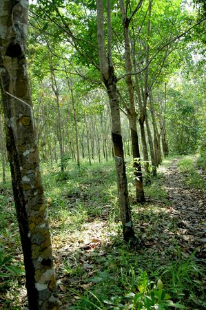 The Traditional Plantation of Para Rubber