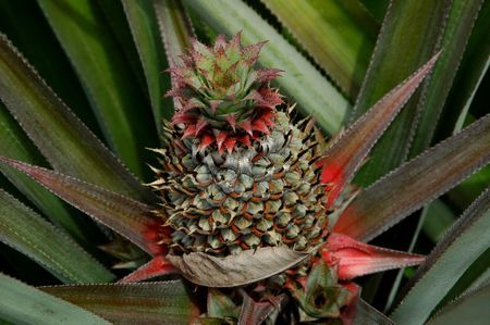 Young Pineapple Stock Photo