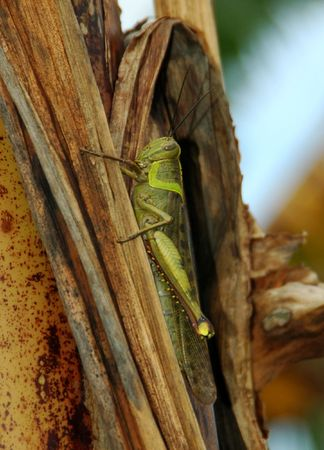 A Grasshoper Perhed on Banana Tree