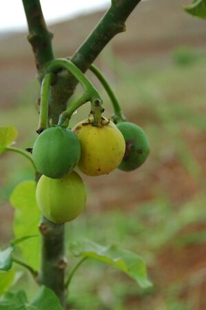 Jatropha Curcas Fruit Stock Photo