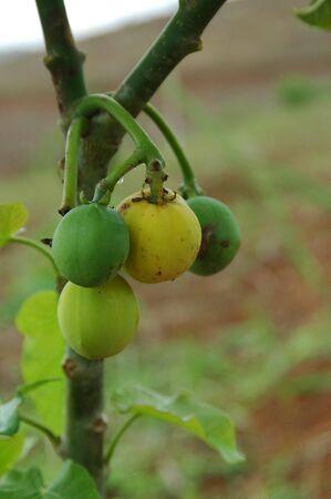 Jatropha Curcas Fruit Stock Photo