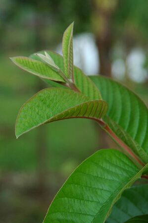 Guava Leaf Stock Photo