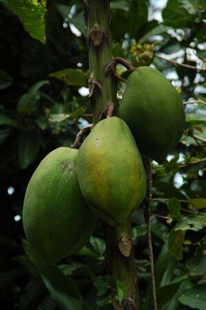 Ripe Papayas Stock Photo - 2139819