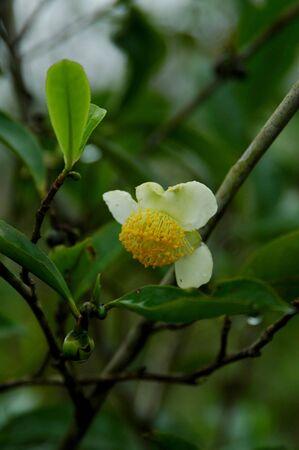 The Flower of Tea