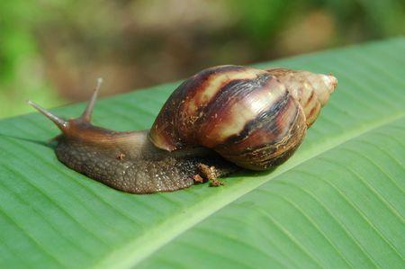 edible snail: Helix Aspersa a.k.a edible Snail