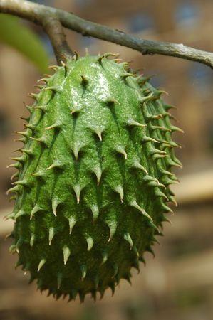 Fredsh Soursop (Annona muricata)