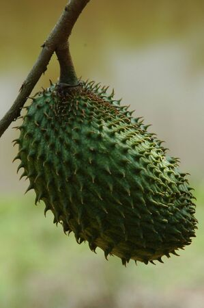 A Annona muricata a.k.a Soursop Stock Photo