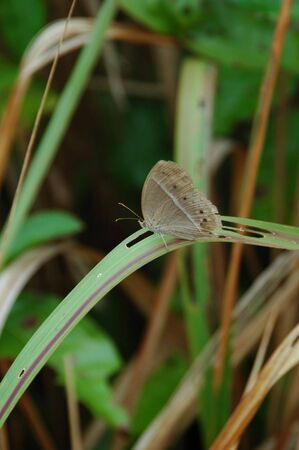 insecta: A Grey Butterfly