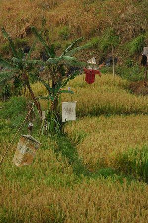 marginal: Marginal Rice Field Stock Photo